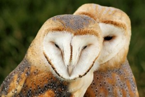 1024px-Barn_Owls_-_Knebworth_Country_Show_2013_(9484398859)